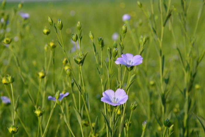 Ľanové semienko a jeho výhody