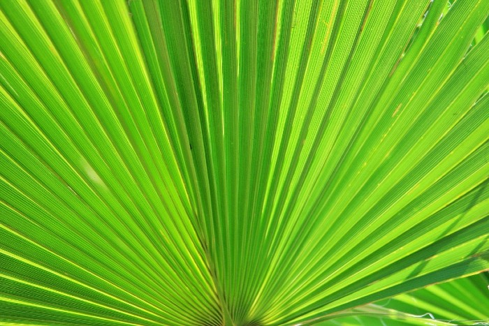 Liečivá palma pre mužskú potenciu. Serenoa repens pomáha nielen s erekciou