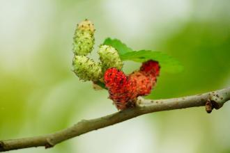 Moruša a jej plody: Účinky na zdravie