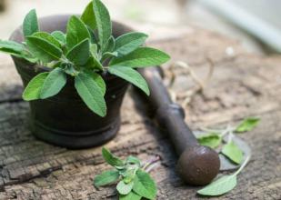 Šalvia, bylinka i korenie v jednom