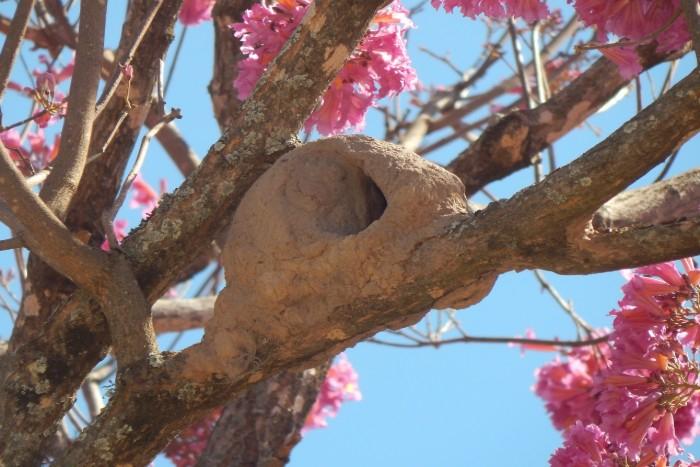 Zázračný strom lapacho